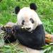 Panda at Chongqing Zoo