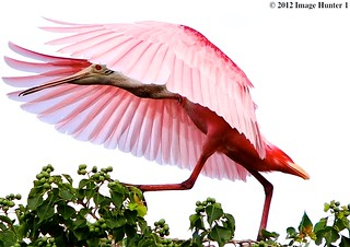 Roseate Spoonbill | by Image Hunter 1