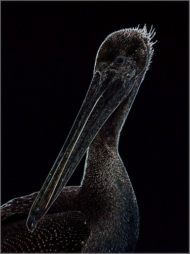 Dark Night Pelican | by Feist, Michael - FunnyFence - catchthefuture