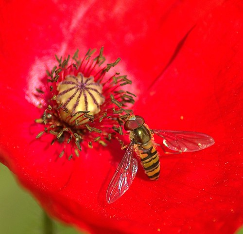 Hoverfly Enjoying  a Poppy | by Chrissie28IWish! ~ hubby on the mend hopefully!