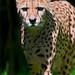 Cheetah approaching
