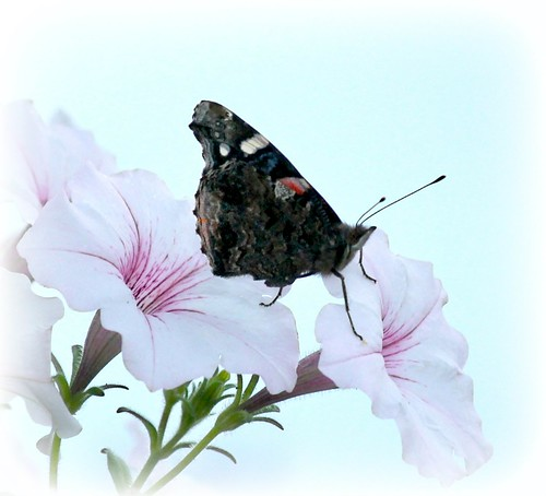 Red Admiral On Petunias | by Happy Shuttering (Ruth)