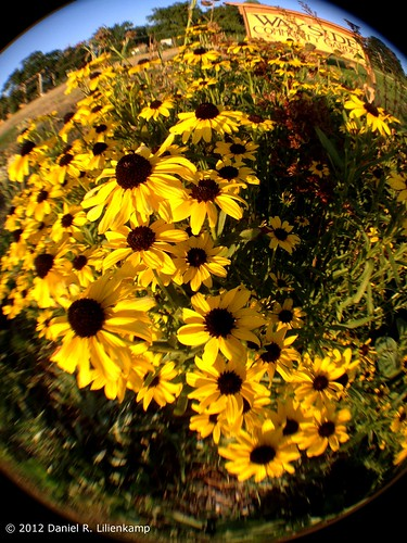 Fisheye Black-eyed Susan | by daniel.lilienkamp