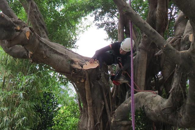 修樹難在下刀精準度,一失誤便造成難以彌補的傷害。圖片來源:陳雅得。