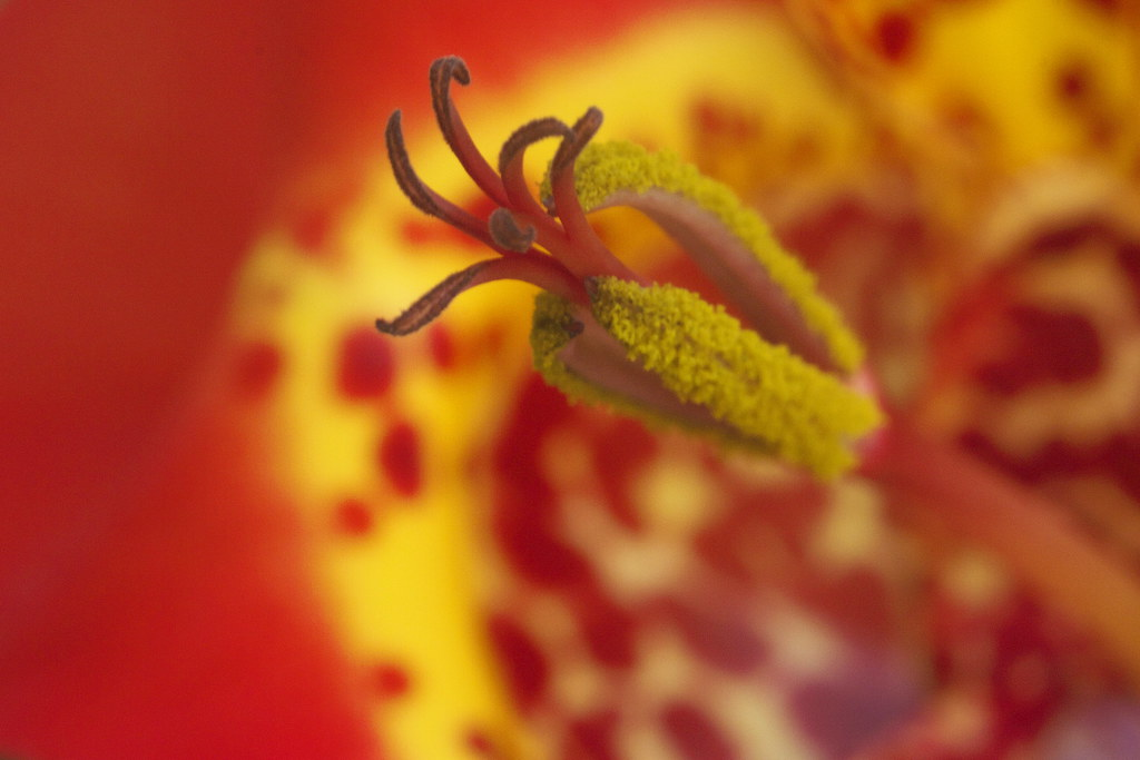Red flower with a yellow stamen juan manuel bautista hoepfner flickr red flower with a yellow stamen by juan manuel bautista hoepfner mightylinksfo
