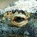 Dragão de Komodo / Komodo dragon 27493