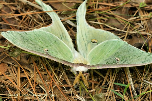 Luna Moth | by Texas Exposur