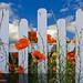 Poppy Garden....