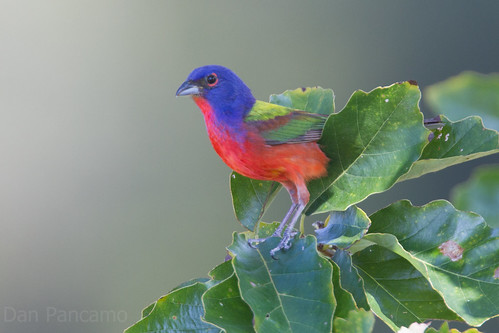 Painted Bunting - Brazos Bend State Park | by Dan Pancamo