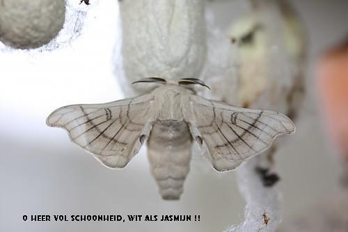 1 - Zijdevlinder [ Silk moth ]   -- Een Zijdevlinder Te ...   500 x 333 jpeg 32kB