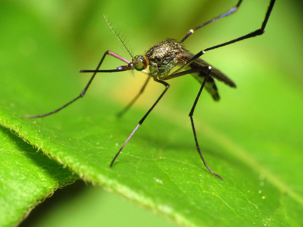 mosquito cause zika virus