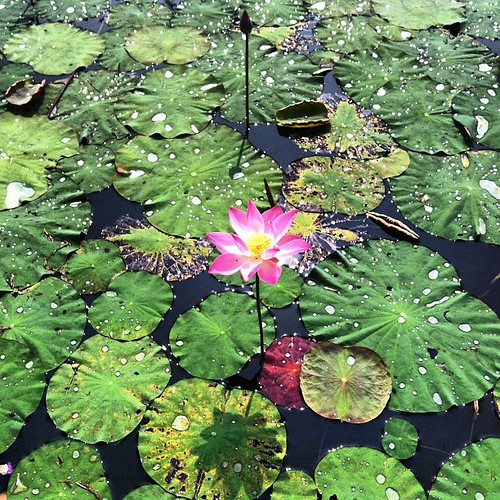 Good Morning, The Lotus #flower #flora #botanic #garden #b