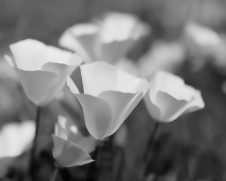 California Poppies in Black and White | by ShutterOak