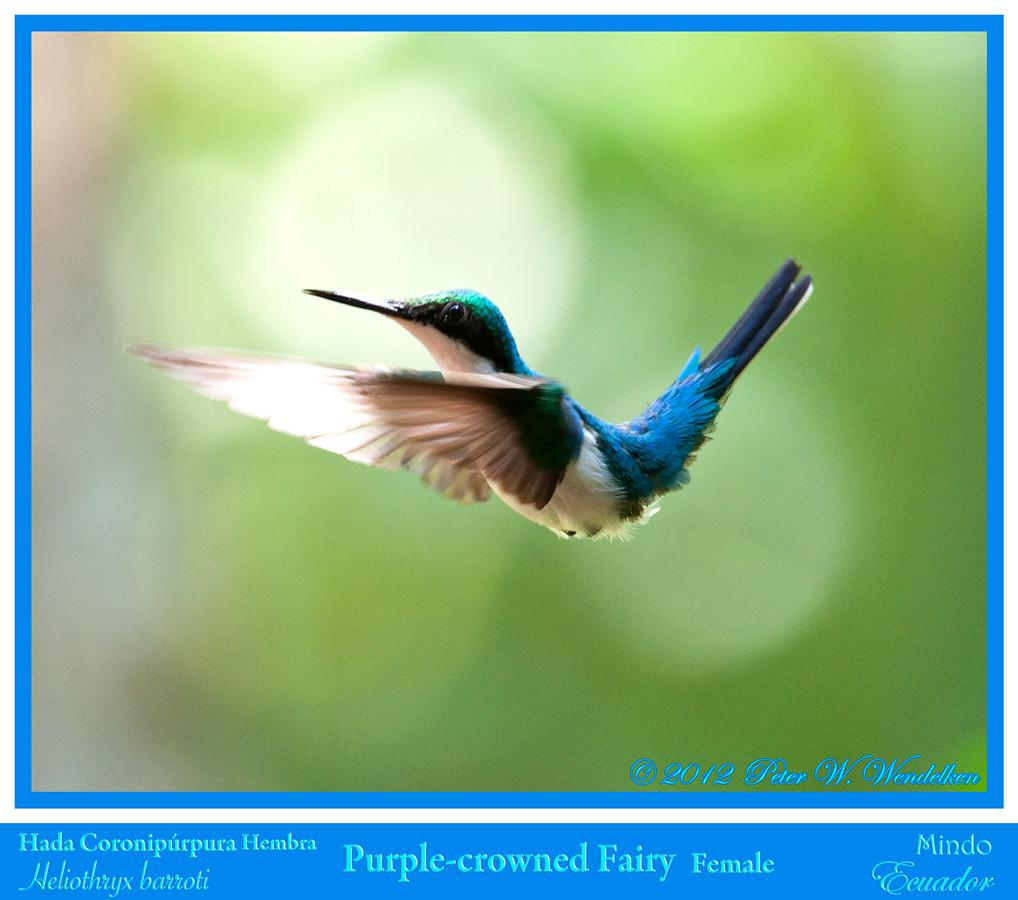 Purple Crowned Fairy Hummingbird Purple-crowned Fairy
