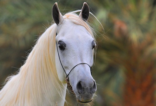 Excellent Arabian Horse | by Ahmed Ahw