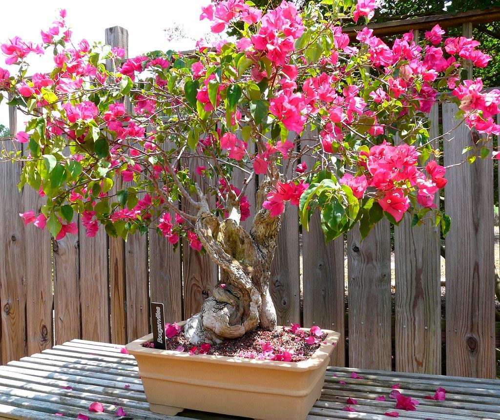 Bougainvillea bonsai found in the small bonsai section for Bougainvillea bonsai prezzo