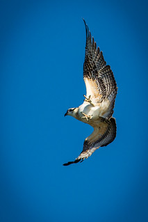 osprey over Clapboard Island freefall | by zen granny