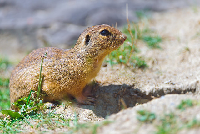 Attentive ground squirrel