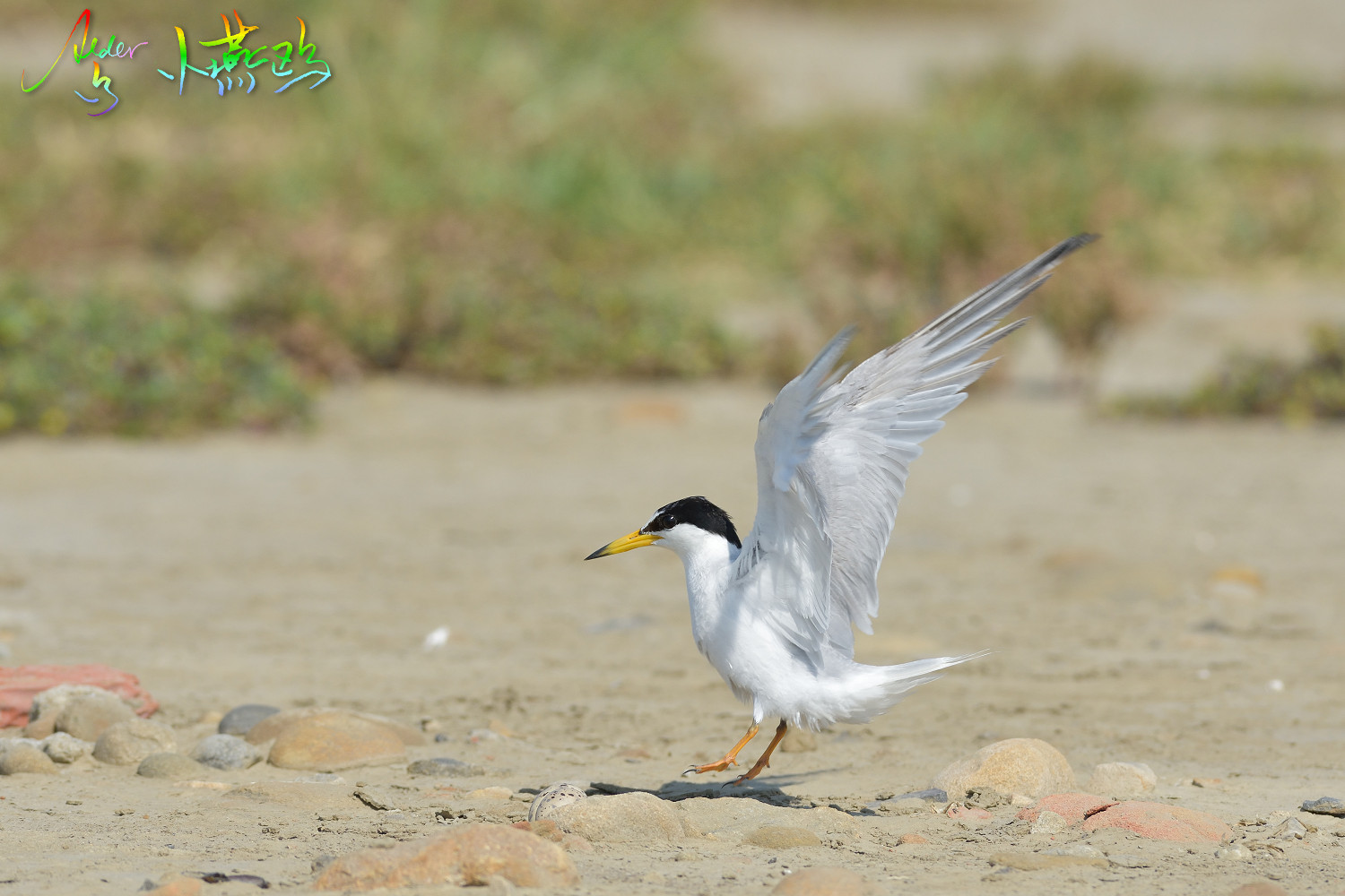 Little_Tern_2552