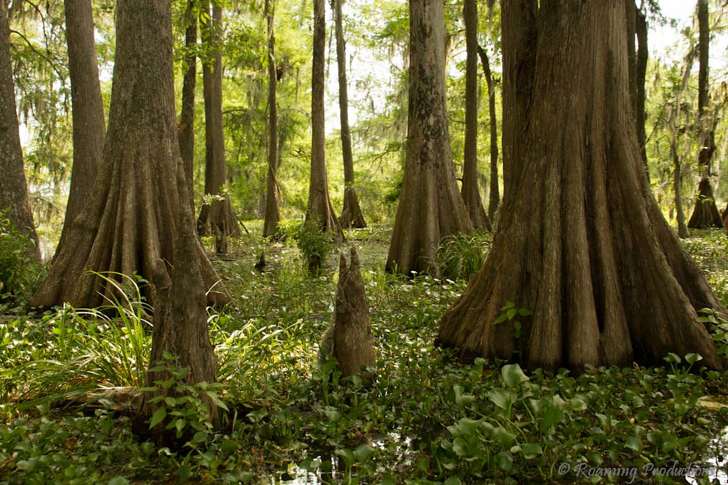 Dagobah, Louisiana. : pics