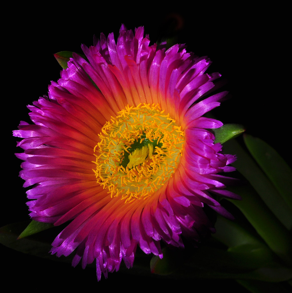 Purple Crowned Ice Plant Flower