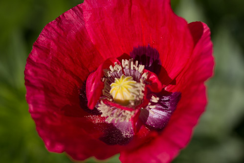 Overnight a poppy emerged | by Sharon's Shotz