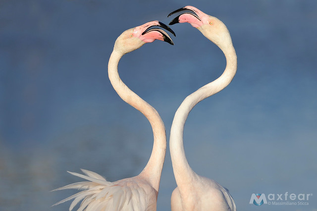 Greater Flamingo Phoenicopterus Roseus Flickr Photo Sharing