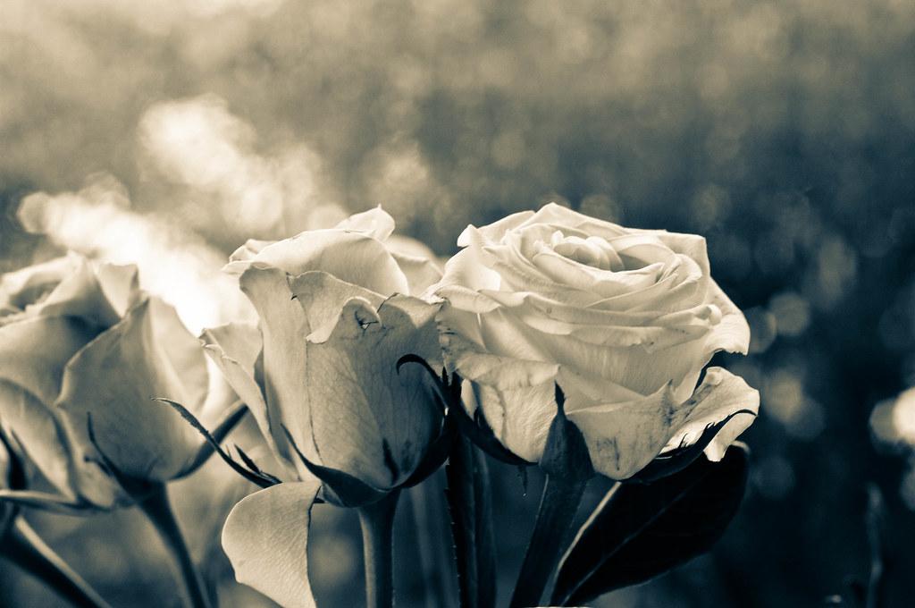 wei e rosen 175 von 366 die bedeutung der rosen ist den me flickr. Black Bedroom Furniture Sets. Home Design Ideas