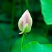 the lotus cometh