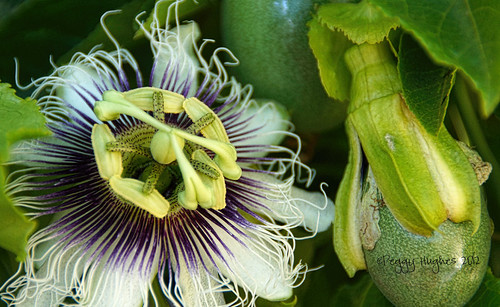 passion flower and fruit | by peggy.