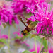 Clear winged Hummingbird Moth