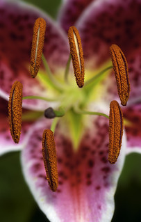 Star Gazer Lily | by alan shapiro photography