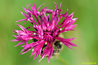 Greater Knapweed | by Tony Margiocchi (Snapperz)