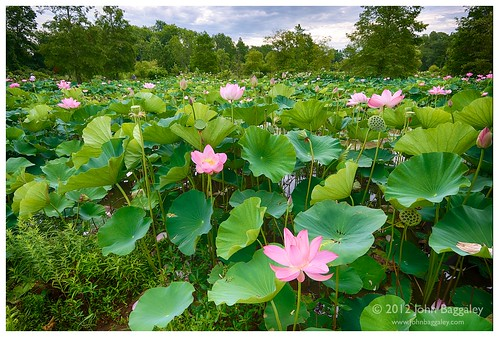 A field of lotuses | by John Baggaley