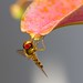#211 Summer Macro - Hoverfly and Lily