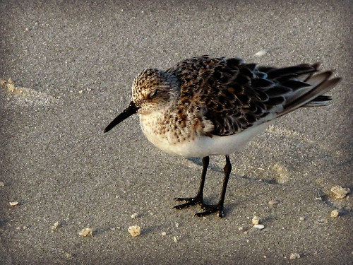 Sleepy Sanderling | by JC Shamrock