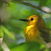 Spotlight on Spring - Prothonotary Warbler
