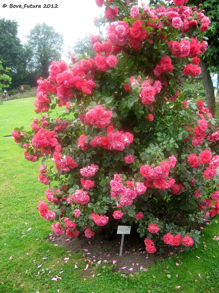 seppenrade rose 20 kletterrose rosarium uetersen flickr. Black Bedroom Furniture Sets. Home Design Ideas