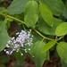 Ceanothus sanguineus (Rhamnaceae); Buck brush