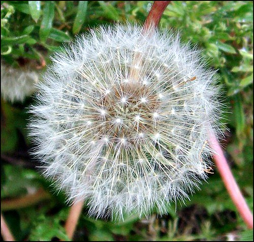 Dandelion Seed Head,. | by ** Janets Photos **