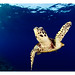 WWF-Canon Pic of the Week #18 - Hawksbill Turtle