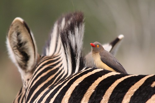zebra and red billed oxpecker relationship advice