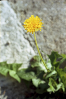 A dandelion in Oxford ... | by David Stumpp |[o]| Photography