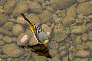Grey Wagtail. | by stonefaction
