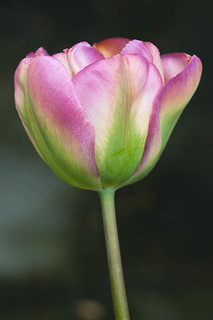 120424_004_Tulip 'Groenland'.jpg | by Alan Buckingham