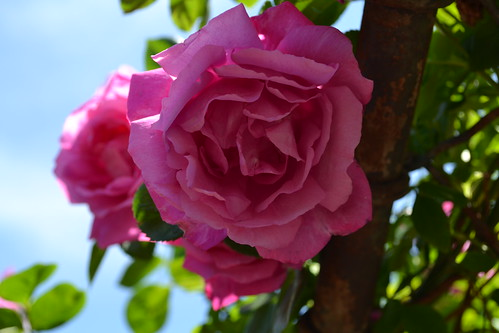Climbing Rose 'Climbing American Beauty' | by Brooklyn Botanic Garden