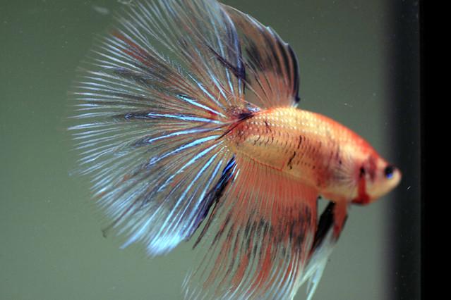 Betta super delta flickr photo sharing for Show betta fish