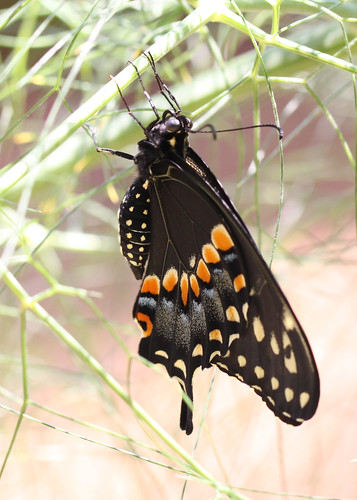 Black swallowtail just emerged from chrysalis | by Vicki's Nature