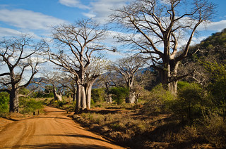 Burton-like Baobab | by BetterLifeCycle