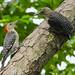 Red-bellied Woodpecker (Melanerpes carolinus) ♀ and juv.